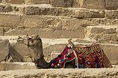 Dromedary lying in front of a pyramid Egypt
