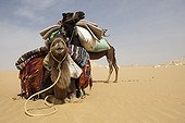 Camels harnessed lying in the white desert Egypt