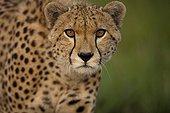 Portrait of Cheetah in the Savannah Masai Mara Kenya
