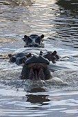Hippopotamuses face in water Masai Mara Kenya