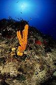 sponge at Reef, Kas, Lycia Region, Mediterranean Sea, Turkey