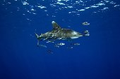 oceanic whitetip shark accompanied by pilot fishes, Red Sea, Egypt