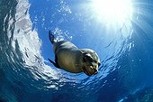 California sea lion, Sea of Cortez, Baja California, Mexico