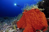 scuba diver and rock covered with red sponge, El Hierro, Canary Islands, Spain