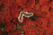 bearded fireworm on red sponge, El Hierro, Canary Islands, Spain