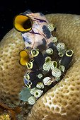 colonie of tunicates or ascidians, Lombok, Indian Ocean, Indonesia