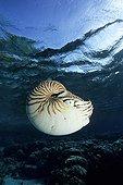 chambered Nautilus, Micronesia, Pacific, Palau