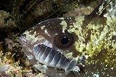 fish with with isopod parasites, Raja Ampat, Irian Jaya, West Papua, Pacific Ocean, Indonesia