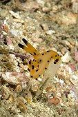 Polyceridae nudibranch, Raja Ampat, Irian Jaya, West Papua, Pacific Ocean, Indonesia