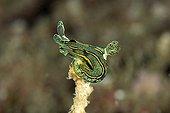 nudibranch, unidentified, Raja Ampat, Irian Jaya, West Papua, Pacific Ocean, Indonesia