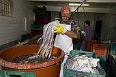 Processing of Jumbo Squid, Humboldt Squid, Hand Caught at Night, Santa Rosalia, Sea of Cortez, Baja California, East Pacific, Mexico