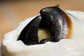 Sharp Beak of Jumbo Squid, Humboldt Squid, Santa Rosalia, Sea of Cortez, Baja California, East Pacific, Mexico
