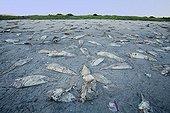 Dead, Stranded Jumbo Squid, Humboldt Squid on the Beach, Santa Rosalia, Sea of Cortez, Baja California, East Pacific, Mexico