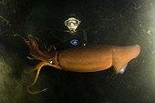 Jumbo Squid and Scuba Diver at Night ; Jumbo Squid or Humboldt Squid.