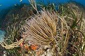 Opelet Anemone, Marettimo, Aegadian Islands, Sicily, Mediterranean Sea, Italy