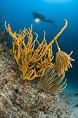 Squid Eggs hanging on Yellow Sponge, Marettimo, Aegadian Islands, Sicily, Mediterranean Sea, Italy
