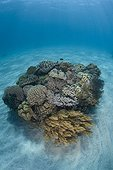 bommie is covered by competing corals, East Timor, Indonesia