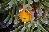 False Clownfish with Parasite in Throat, Raja Ampat, West Papua, Indonesia