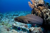 Giant Moray Eel, Micronesia, Pacific Ocean, Palau