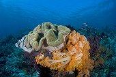 Mushroom Leather Corals and orange Soft Sorals, Komodo, Indonesia