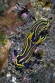 Tambja Nudibranch, Komodo, Indonesia