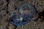 Bobtail Cuttlefish, Komodo, Indonesia