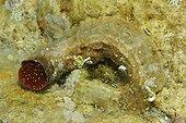 Giant worm-shell Croatia ; Vela Vala