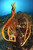 Reef with Finger Sponge, Maun Island, Adriatic Sea, Croatia