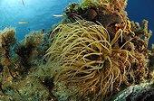 Opolet Anemone at Coral Reef, Maun Island, Adriatic Sea, Croatia