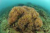 Colony of Opolet Anemone, Piran, Adriatic Sea, Slovenia