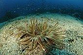 Opolet Anemone, Susac Island, Adriatic Sea, Croatia