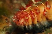 Fire Worm, Svetac Island, Adriatic Sea, Croatia