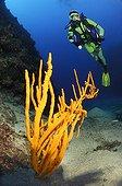 Diver and Branching Sponge, Kas, Mittelmeer, Turkey