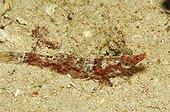 King Shrimp, Alor, Lesser Sunda Islands, Indo-Pacific, Indonesia