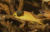 Isopod Parasit on Lyretail Anthia, Alor, Lesser Sunda Islands, Indo-Pacific, Indonesia
