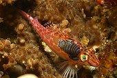 Isopod Parasit on Pixy Hawkfish, Alor, Lesser Sunda Islands, Indo-Pacific, Indonesia