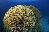 Fan Fire Coral, Fury Shoals, Marsa Alam, Red Sea, Egypt