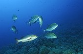 Bluefin Trevally, Elphinstone Reef, Red Sea, Egypt