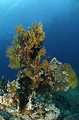 Fan Fire Coral, Abu Dabab, Marsa Alam, Red Sea, Egypt