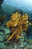 Fire Corals and Butterflyfishes, Marsa Alam, Red Sea, Egypt