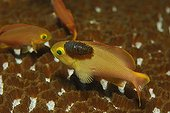 Anthias infested by Isopod, Alor, Lesser Sunda Islands, Indo-Pacific, Indonesia