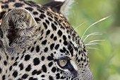 Regard de Léopard Réserve de Masaï Mara Kenya