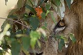Regard de Lion à travers le feuillage Masaï Mara Kenya