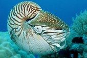 Chambered Nautilus, Pacific, Micronesia, Palau