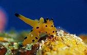 yellow Nudibranch, Indopacific, Malaysia