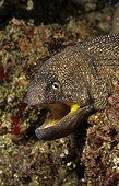 Yellowmouth moray, Indian Ocean, Mozambique Africa