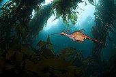 Weedy Sea Dragon, Tasmania, Australia