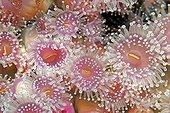 Jewel Anemones, Tasmania, Australia