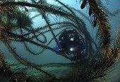 Rebreather Diver in Feather Boa Kelp, Anacapa Island, Channel Islands, Pacific, California, USA