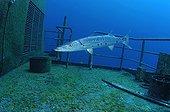 great barracuda on Russian Destroyer Wreck, Caribbean Sea, Cayman Islands